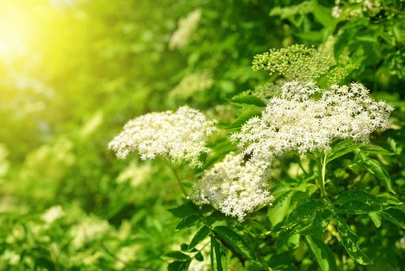 Kwitnący czarny bez /©123RF/PICSEL