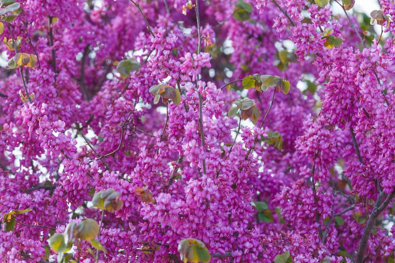 Kwitnący judaszowiec /©123RF/PICSEL