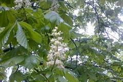 Kwitnący kasztan symbolem matury