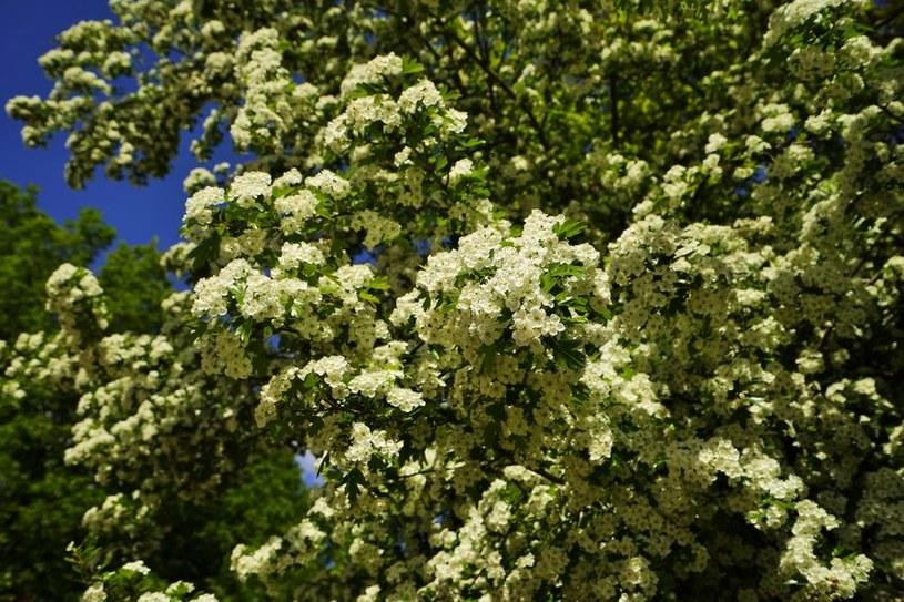 Kwitnący krzew /©123RF/PICSEL