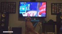 Labrador jest ogromnym fanem tenisa