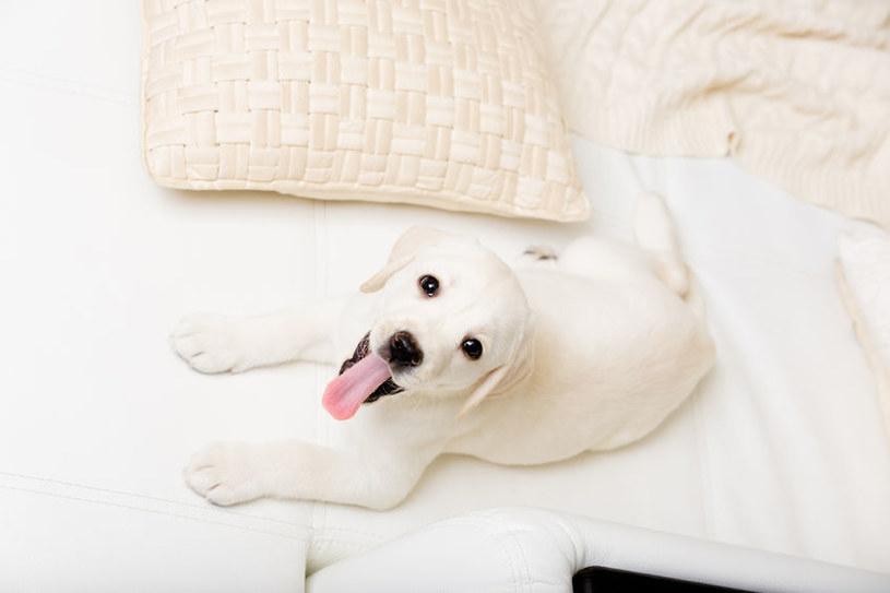 Labrador retriever /©123RF/PICSEL