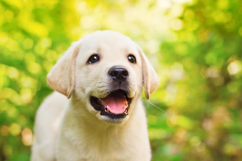 Labrador Retriver /© Photogenica