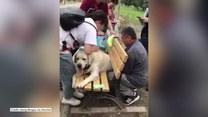 Labrador utknął w szczelinie ławki. Pomogli mu przechodnie