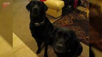Labrador wskazał winnego kradzieży ciastek