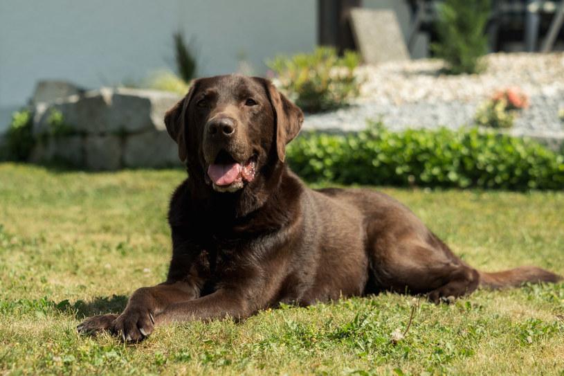 Labradory potrzebują ruchu i dłuższych spacerów /123RF/PICSEL