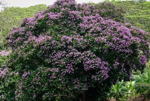 Lagerstremia: Bujnie kwitnie przez 120 dni w roku. Jak ją uprawiać?