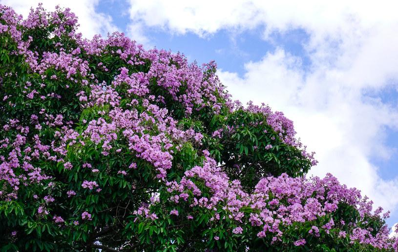 Lagerstremia kwitnie obficie przez 120 dni w roku /123RF/PICSEL