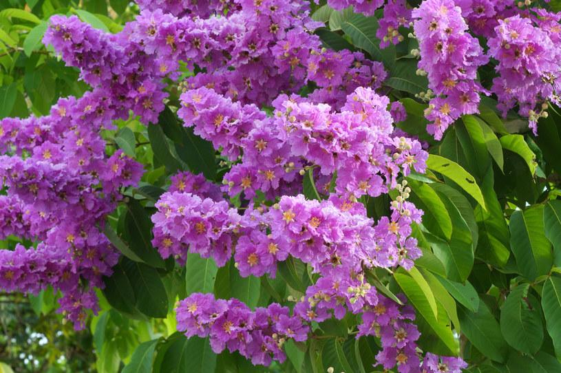Lagerstremia ma bajkowe kwiatostany /123RF/PICSEL
