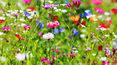 Łąka kwietna – idealna w każdym ogrodzie
