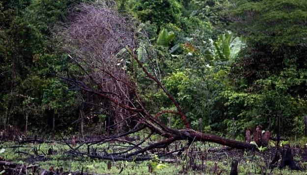 Las deszczowy w Brazylii /AFP