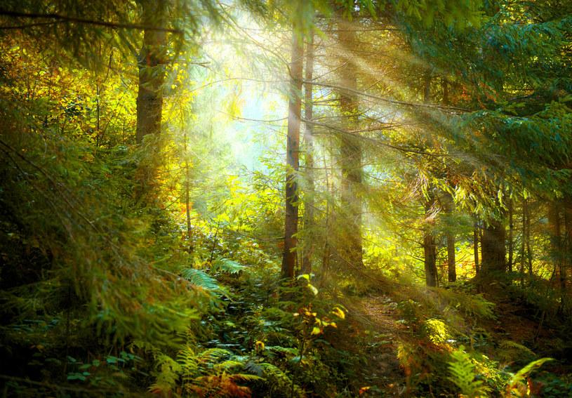 Las kryje w sobie wiele niespodzianek. Wykorzystaj je, aby zadbać o swój wygląd /123RF/PICSEL