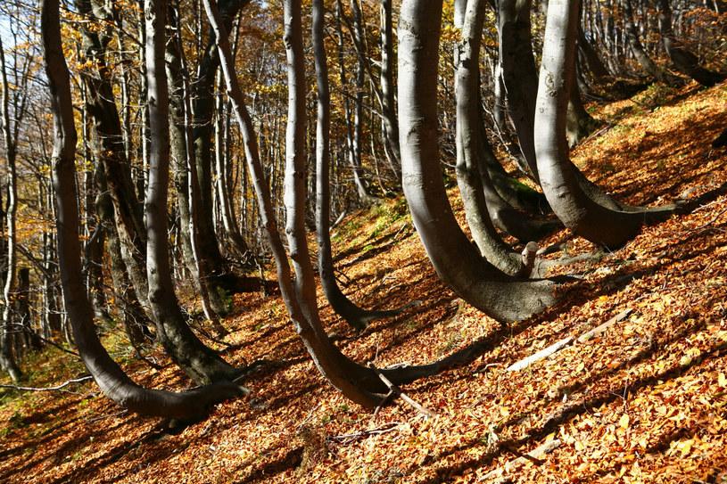 Lasy bukowe rosnące na terenie Bieszczadzkiego Parku Narodowego /Rafal JABLONSKI/East News /East News