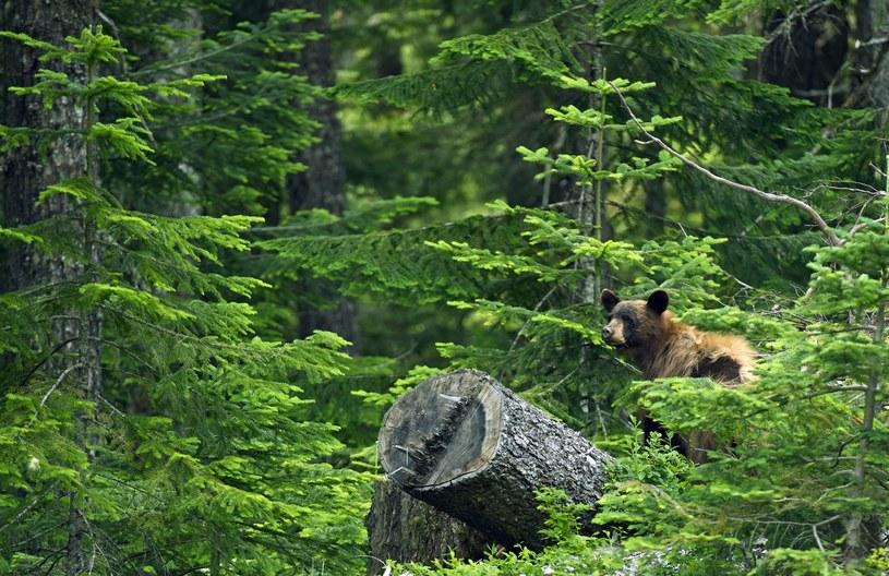 Lasy Kolumbii Brytyjskiej to wyjątkowy obszar wymagający ochrony /123RF/PICSEL