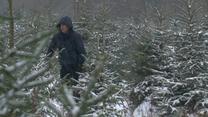 Lasy Państwowe rozpoczęły sprzedaż choinek w nadleśnictwach. Na nabywców czeka dziewięć tysięcy drzewek
