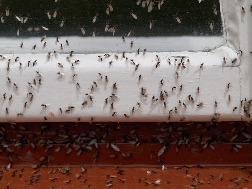 Latające mrówki nie różnią się znacznie od mrówek faraonek. Mają przeważnie około 5-7 milimetrów długości /123RF/PICSEL