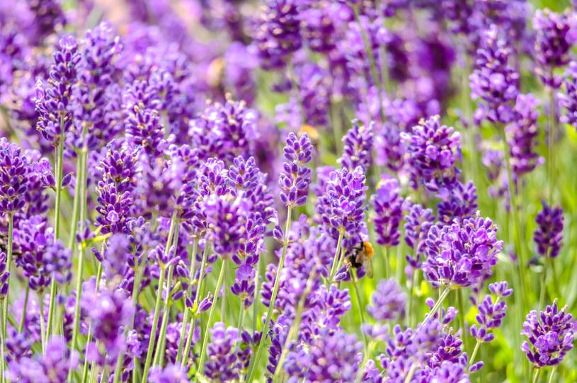 Lawenda to jeden z najpopularniejszych kwiatowych akcentów w kuchni /123RF/PICSEL