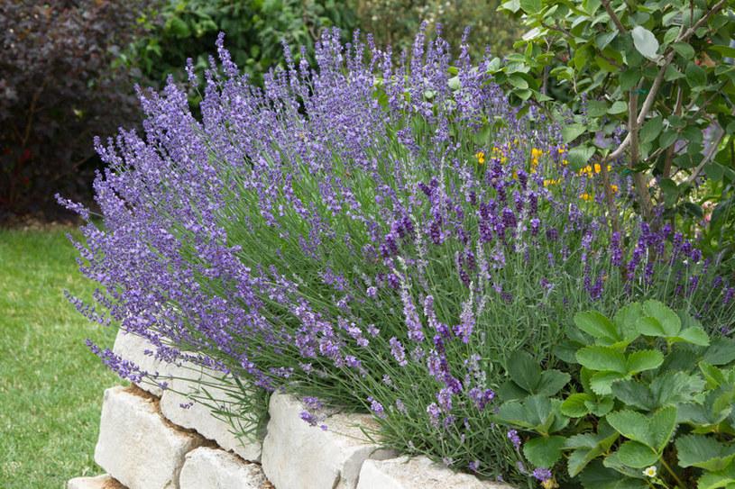 Lawenda w ogrodzie pomaga odstraszać kleszcze i komary /123RF/PICSEL