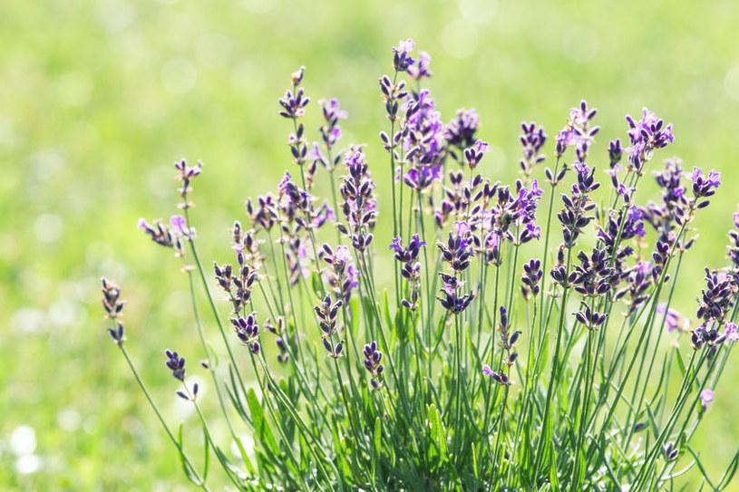 Lawenda w ogrodzie /©123RF/PICSEL