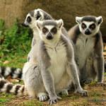 Łebski lemur ma więcej przyjaciół