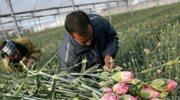 Legalne zarobki w kraju tulipanów