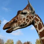 Lekkoatletyka. Żyrafa Lunani maskotką MŚ sztafet w Chorzowie