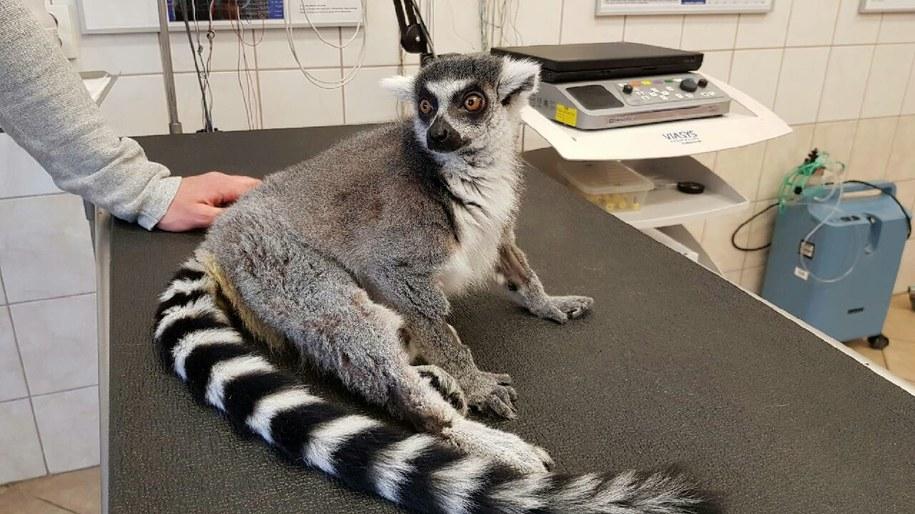 Lemur Julian /foto. FOT. UNIWERSYTET PRZYRODNICZY WE WROCŁAWIU /