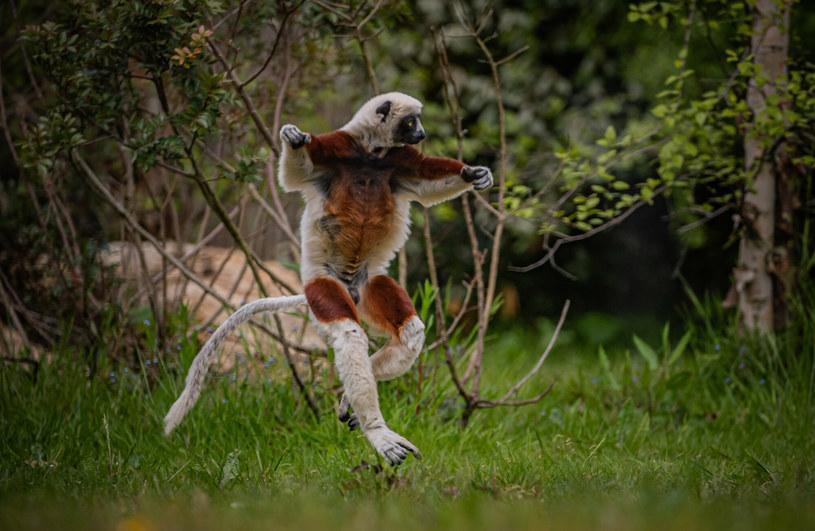 Lemur sifaka potrafi balanswoać na dwóch łapkach /Cover Images/East News /East News