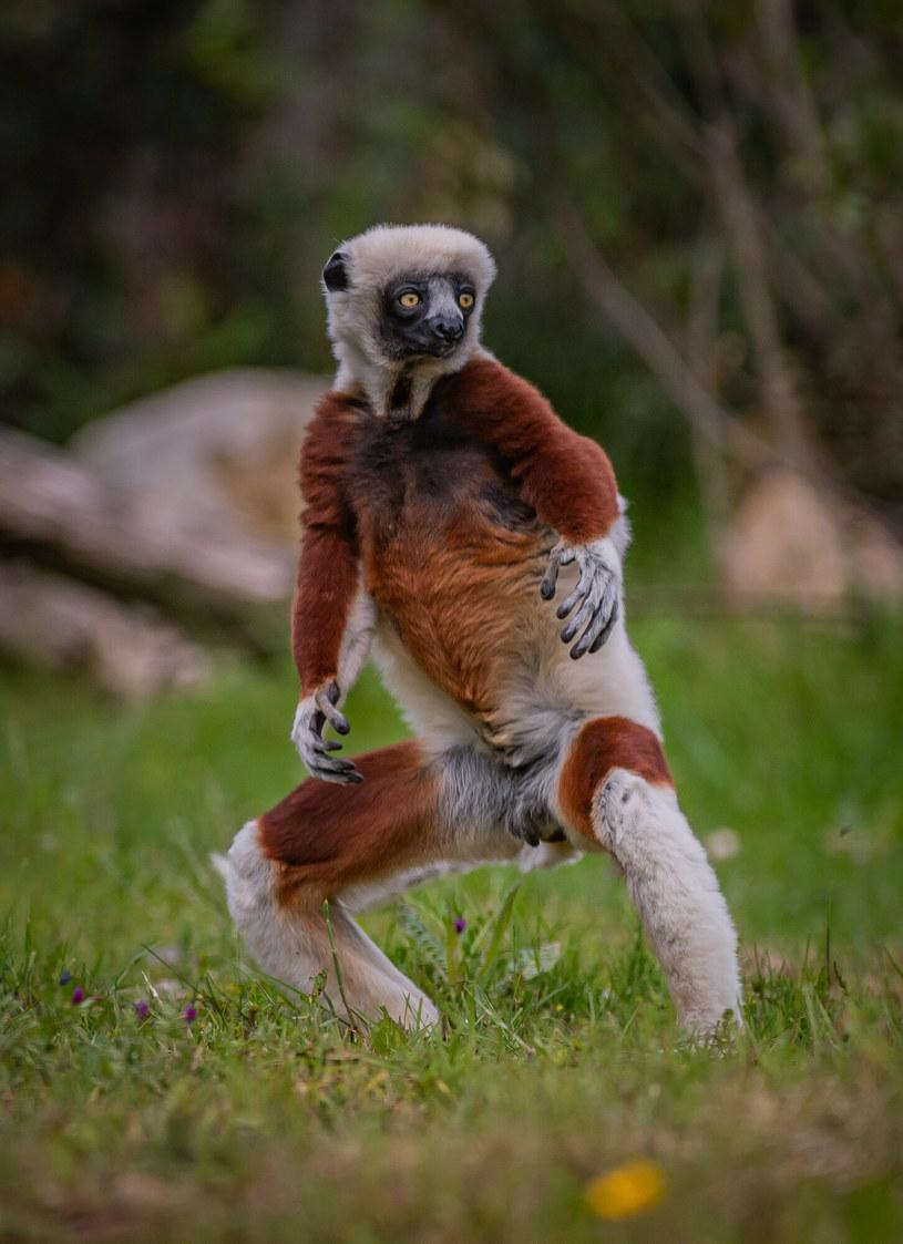 Lemur wygląda jakby chciał walczyć /Cover Images/East News /East News