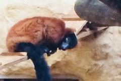 Lemury z łódzkiego zoo będą miały nowy dom