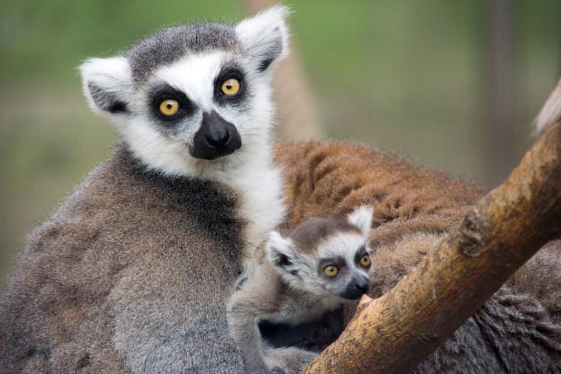 Lemury z Madagaskaru /123RF/PICSEL