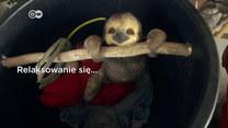 Leniwce i ich raj w niebezpieczeństwie