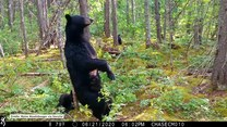 Leśna kamera nagrała z ukrycia niedźwiedzią rodzinkę. Drapały się o drzewa, znacząc teren
