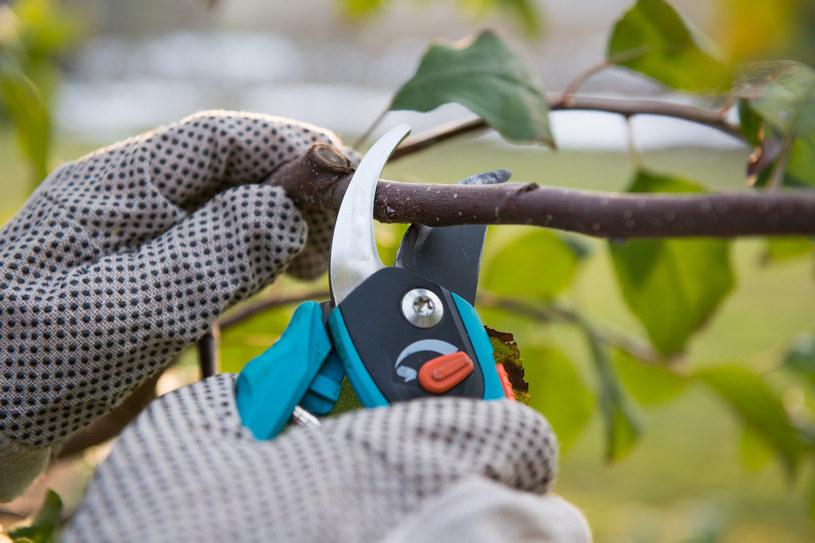 Letnie cięcie drzew owocowych: Kiedy i jak przeprowadzić? /123RF/PICSEL