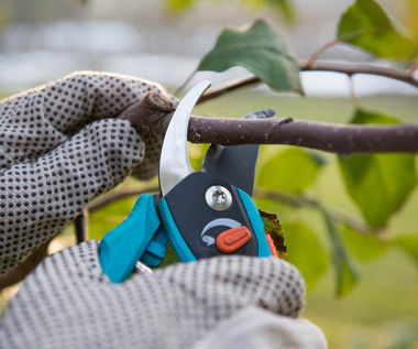 Letnie cięcie drzew owocowych: Kiedy i jak przeprowadzić?