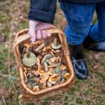Letnie grzyby już są! Ale czy warto je zbierać?