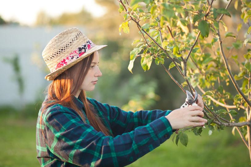 """Letnie przycinanie drzew owocowych polega na usuwaniu """"wilków"""" /123RF/PICSEL"""