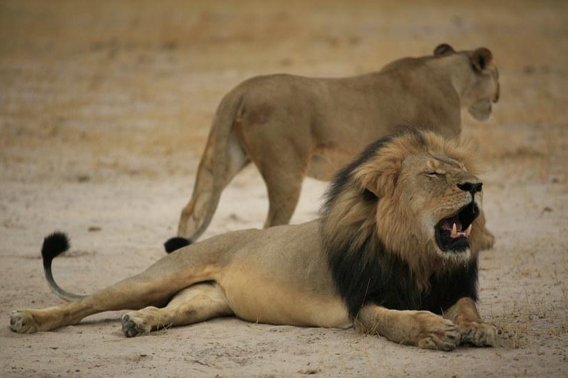 Lew Cecill zastrzelony przez amerykańskiego dentystę /ZIMBABWE NATIONAL PARKS /AFP