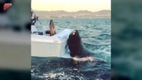 Lew morski załapał się na darmowy przejazd. Ludzie skusili go rybą