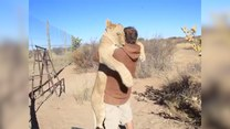 Lew uściskał swojego opiekuna
