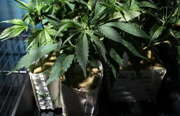 Liczba ludzi sięgających po marihuanę w Czechach spadła z 15,3 proc. w 2008 roku do 9,2 proc. w roku 2012. /AFP