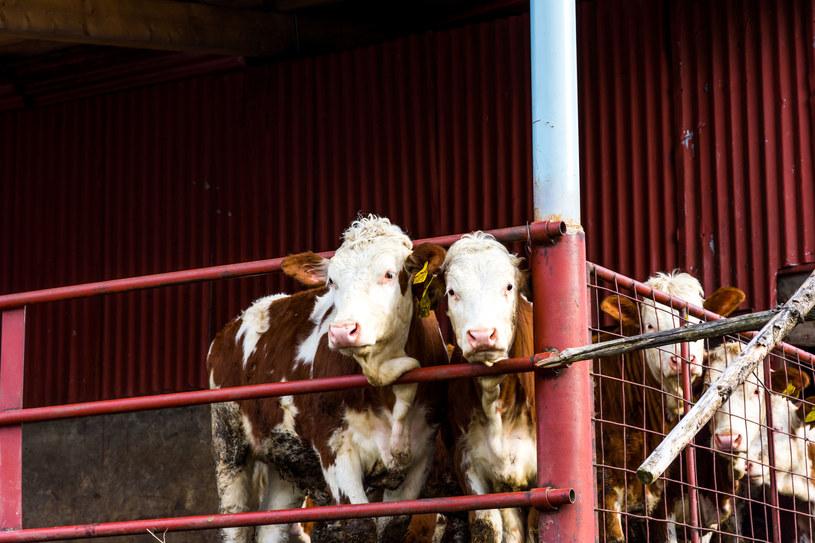 Liczba zwierząt hodowanych i zabijanych dla ludzkiego pożywienia jest astronomiczna /123RF/PICSEL