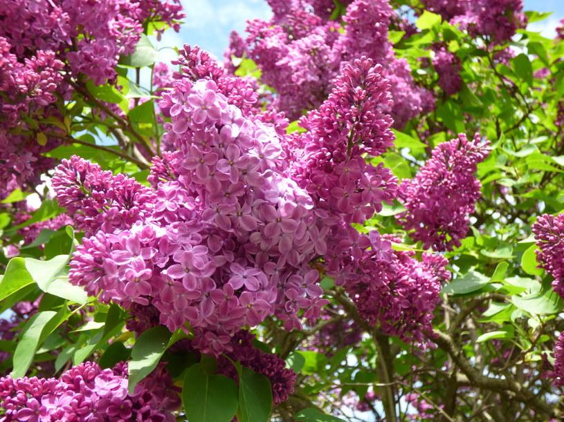 Lilak, potocznie zwany bzem, pięknie pachnie /123RF/PICSEL