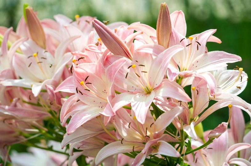 Lilie wabią kolorami /©123RF/PICSEL