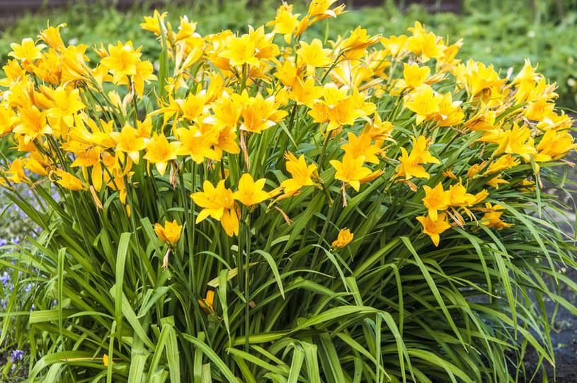 Liliowiec ogrodowy /©123RF/PICSEL