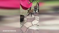 Lis wpadł w odwiedziny do ogródka. Wygląda, jakby chciał trochę narozrabiać!