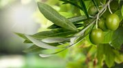 Liść oliwnego gaju na odporność
