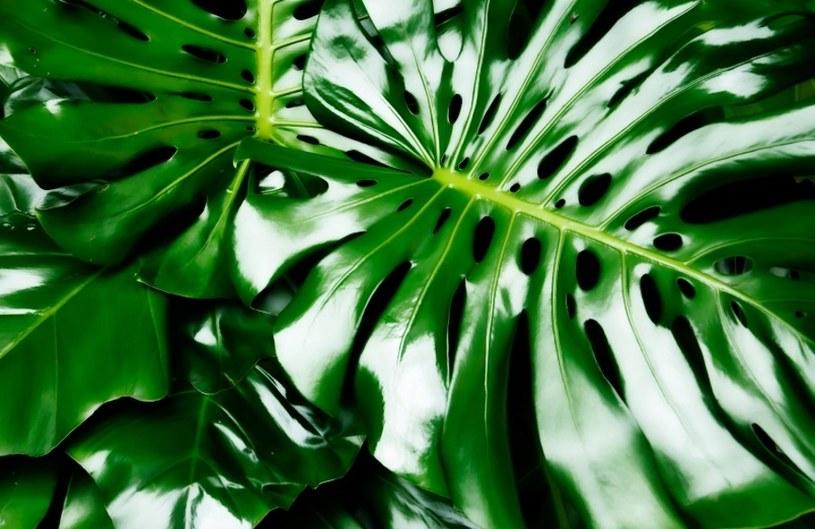 Liście będą lśniące jak nigdy /©123RF/PICSEL