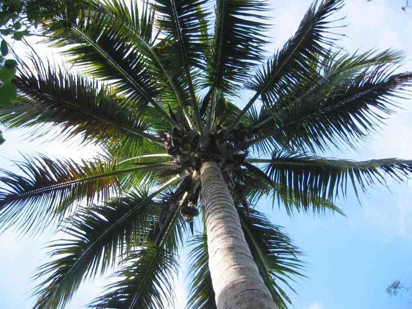 Liście drzewa kokosowego /© Photogenica