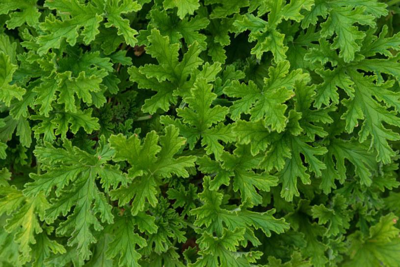 Liście geranium /©123RF/PICSEL